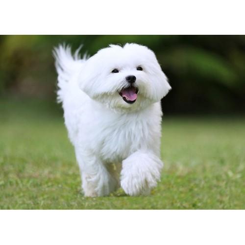 Dla psów o białej sierści