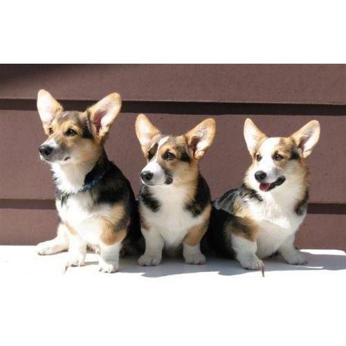 Dla dorosłych psów (11-25kg)